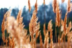 Тростники зимы Стоковые Фотографии RF