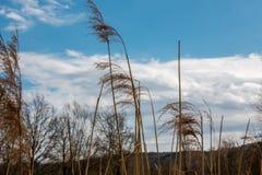Тростники и белые облака перед холмами и лесом стоковое фото