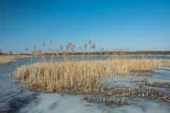 Тростники и замороженное озеро Лес на горизонте и голубом небе стоковая фотография rf