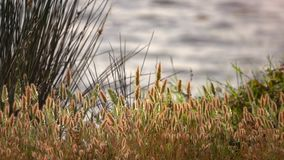 Тростники и озеро в природе видеоматериал