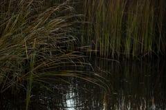 Тростники и озеро стоковые изображения