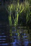 Тростники и отражения Стоковые Фотографии RF