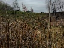 Тростники и стенды Стоковые Изображения RF