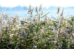 Тростники и тросточка на озере стоковое изображение