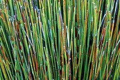 Тростники Калифорнии красочные стоковые изображения rf