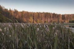 Тростники на банке озера стоковые изображения