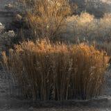 Тростники на заходе солнца стоковые фотографии rf