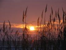 Тростники на заходе солнца стоковое изображение rf