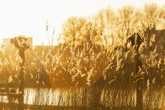 Тростники на озере в ярком золотом выравниваясь свете стоковые изображения rf