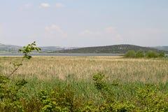 Тростники на озере под голубым небом стоковая фотография rf