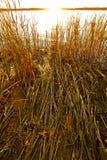 Тростники на речном береге на заходе солнца Стоковое Изображение