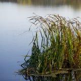 Тростники на речном береге на солнечный день стоковые изображения