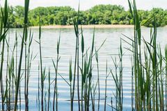 Тростники на фоне конца-вверх реки стоковое изображение rf