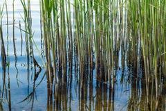 Тростники на фоне конца-вверх реки стоковые фото