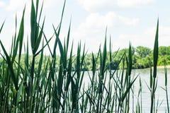 Тростники на фоне конца-вверх реки стоковые изображения