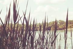 Тростники на фоне конца-вверх реки стоковые фотографии rf