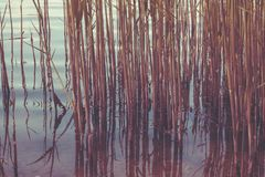 Тростники на фоне конца-вверх реки стоковая фотография