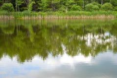 Тростники неподвижного пруда Стоковые Изображения RF