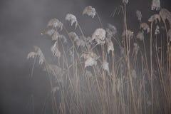 Тростники ночи в тумане Стоковая Фотография