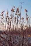 Тростники озера двинутые ветром, стоковое фото rf
