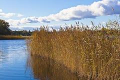 тростники озера Стоковые Фото
