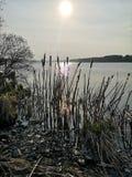 Тростники озером стоковая фотография
