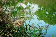 Тростники озером стоковое изображение rf
