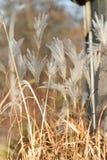 Тростники осени с blury предпосылкой стоковые фотографии rf