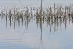 Тростники отражая в воде озера Стоковое Изображение