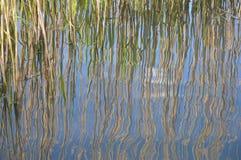 Тростники отраженные в воде фунта стоковое фото rf