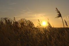 Тростники перед заходом солнца стоковые изображения