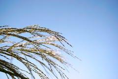 Тростники под голубым небом в солнечности стоковые изображения