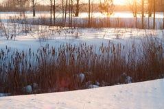 Тростники под нежным светом захода солнца Ландшафт зимы на заходе солнца стоковые фотографии rf