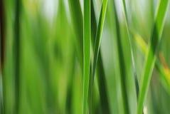 тростники предпосылки Стоковое Фото