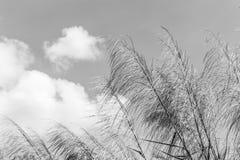 Тростники развевая в ветрах белых и черных Красная трава Гигантский тростник Большой тростник стоковые фото
