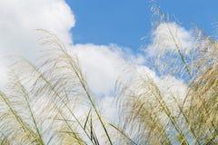 Тростники развевая в небе ветров ярком голубом стоковое изображение rf