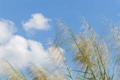 Тростники развевая в небе ветров ярком голубом стоковое изображение