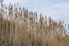 Тростники растя вниз с горного склона, на тихий день осени, остров блок стоковое фото rf