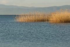 Тростники растя в озере Iznik стоковые изображения