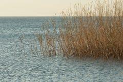 Тростники растя в озере Iznik стоковое фото