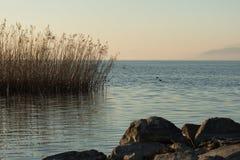Тростники растя в озере Iznik стоковое изображение rf