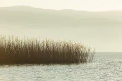 Тростники растя в озере Iznik стоковые фото