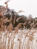 Тростники снаружи с белой зимой природы предпосылки снега неба стоковое изображение