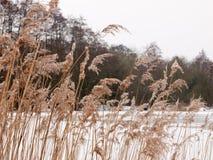 Тростники снаружи с белой зимой природы предпосылки снега неба стоковое фото rf