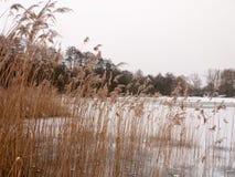 Тростники снаружи с белой зимой природы предпосылки снега неба стоковые фотографии rf