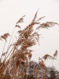 Тростники снаружи с белым концом зимы природы предпосылки снега неба стоковые изображения
