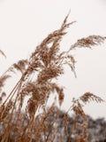 Тростники снаружи с белым концом зимы природы предпосылки снега неба стоковое фото