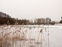 Тростники стоя, который замерли озеро мочат поверхность вне зимы c природы стоковые изображения rf