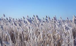Тростники с заморозком гололеди стоковая фотография