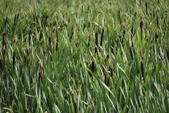 Тростники текстурой озера стоковые фотографии rf